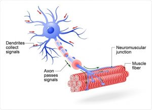 Image result for motor neurone